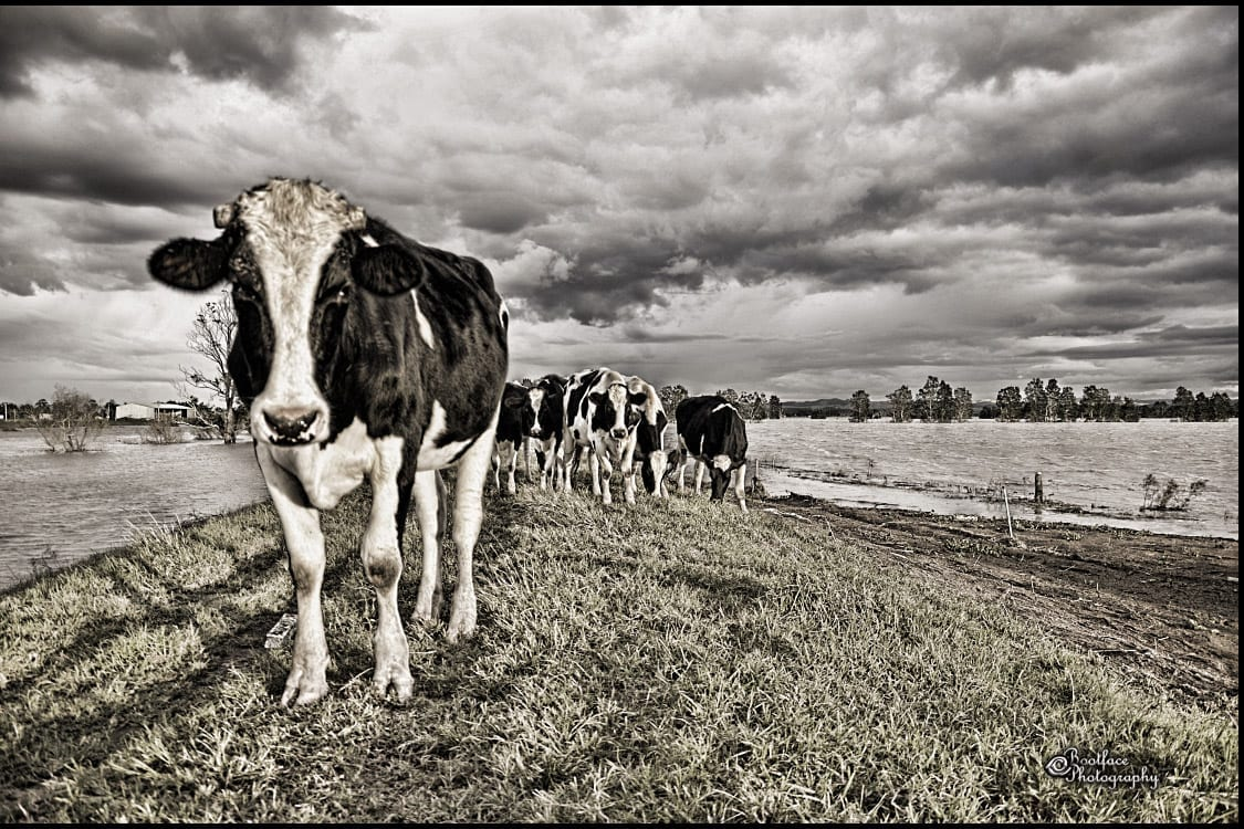 Dairy Cattle Hunter Valley NSW
